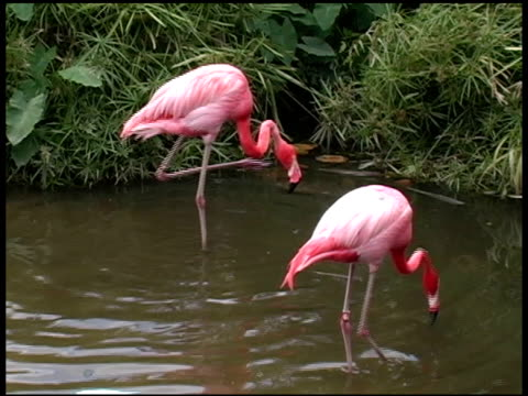 flamingo scratching his head - letterbox format stock videos & royalty-free footage