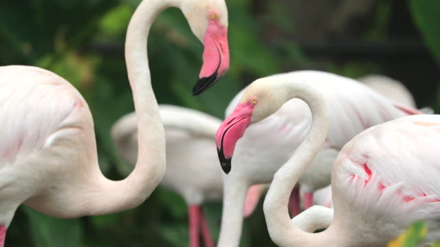 flamingo, slow motion - flamingo bird stock videos & royalty-free footage