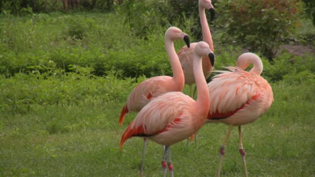 flamingo - liten djurflock bildbanksvideor och videomaterial från bakom kulisserna
