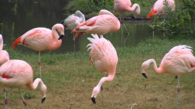flamingo - 2008 stock videos and b-roll footage