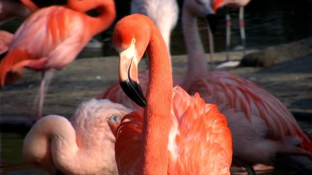 Flamingo (HD)