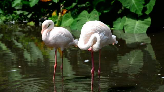 flamingo - schwimmflügel stock-videos und b-roll-filmmaterial