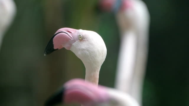 flamingo - standing out from the crowd stock videos & royalty-free footage