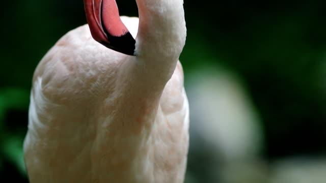 flamingo - flamingo stock-videos und b-roll-filmmaterial