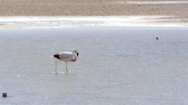 vidéos et rushes de flamingo walking on the lagoon and cleaning him self - se lisser les plumes