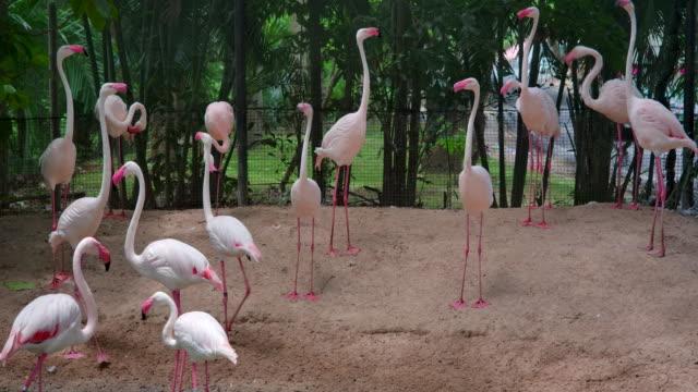 flamingo zu fuß auf dem sand - exotik stock-videos und b-roll-filmmaterial