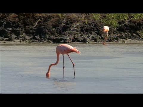 flamingoes foraging in lagoon / galapagos islands - foraging stock videos and b-roll footage