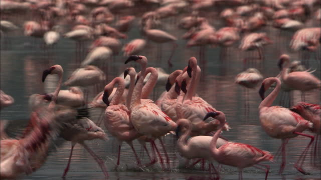 vídeos de stock, filmes e b-roll de flamingoes in water - 1 minuto ou mais