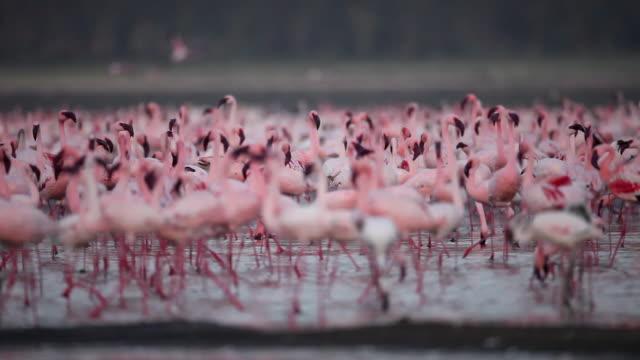 vídeos de stock, filmes e b-roll de flamingoes no lago nakuru - rosa cor