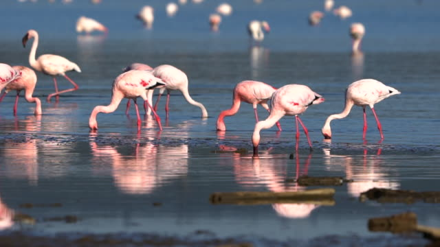 flamingoes on lake nakuru - flamingo bird stock videos & royalty-free footage