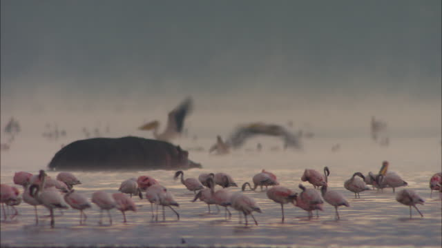 Flamingoes + pelicans + hippo (Africa)