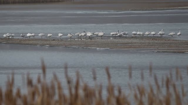 flamingos and swans are seen in the lake van on january 13 2018 in turkey's eastern van province - aquatisches lebewesen stock-videos und b-roll-filmmaterial