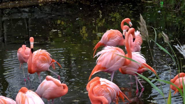 """""""flamingos are one of the most spectacular birds in the world. enormous on their long stilt legs, they are magnificent birds. the name is derived... - beta carotene stock videos & royalty-free footage"""