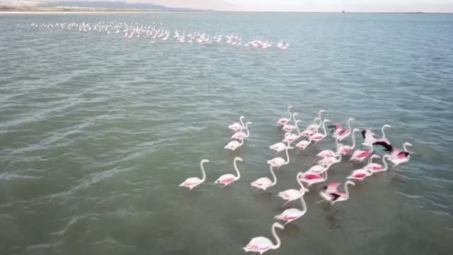 flamingos are seen in the lake van on october 19 2018 in the ercis district of turkey's eastern van province - lake van stock videos and b-roll footage