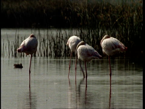 ms flamingos asleep in water, 1 grazing, gujarat, india - balance stock videos & royalty-free footage