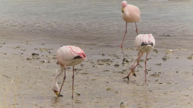 flamingos at a shallow river, isluga, bolivia - medium group of animals点の映像素材/bロール