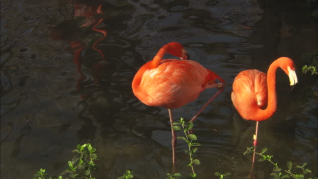 Flamingos, birds preening, close up, Florida, North Atlantic Ocean