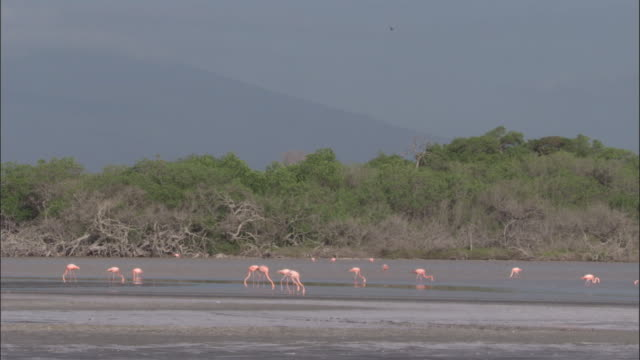 Flamingos feed, Isabela, Galapagos Islands Available in HD.