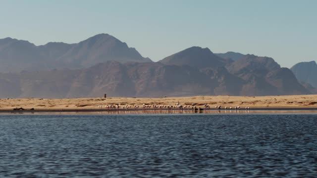 vídeos de stock e filmes b-roll de flamingos feeding next to the water's edge - water's edge