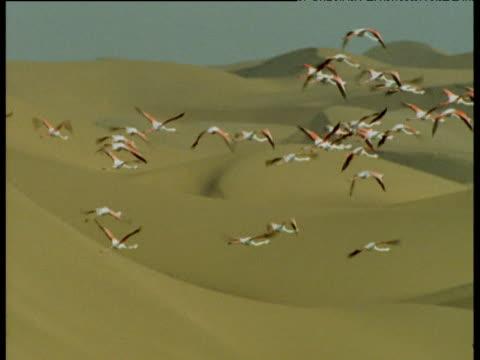 Flamingos fly over sand dunes, Sandwich Harbour