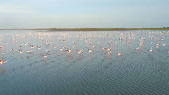 vídeos de stock e filmes b-roll de aerial flamingos flying above the surface of the water - cube