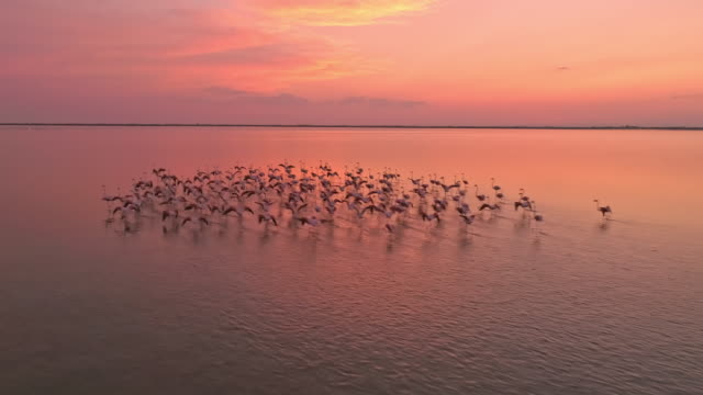 aerial flamingos flying above the surface of the water - flamingo bird stock videos & royalty-free footage