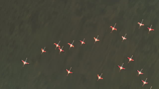 aerial slo mo flamingos flying above the surface of the water - water bird video stock e b–roll