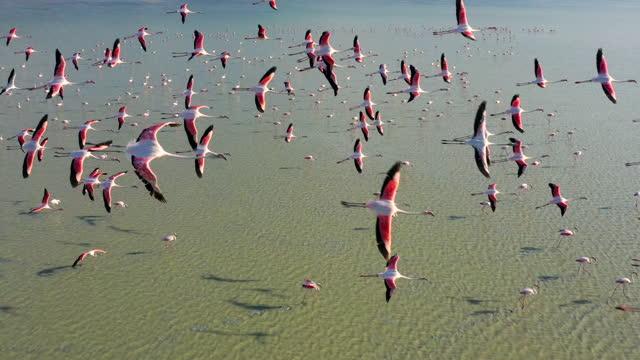 flamingos flying on lake - animal behaviour stock videos & royalty-free footage