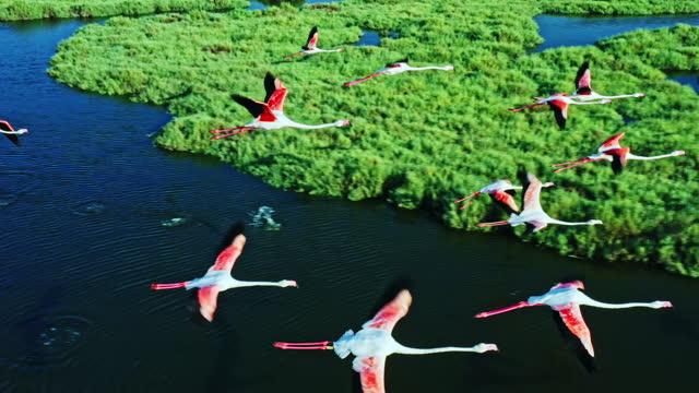 vídeos y material grabado en eventos de stock de flamencos sobrevolando humedales - protección de fauna salvaje