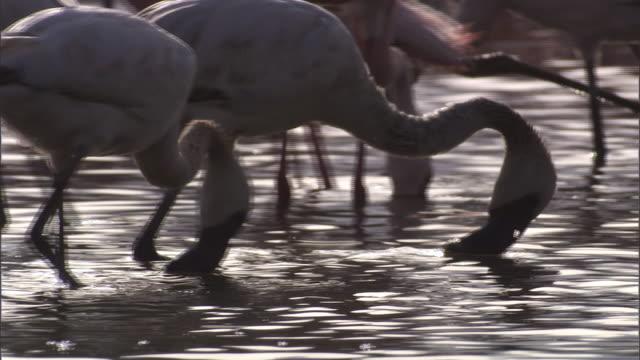 CU PAN Flamingos foraging in water / Lake Begonia, Kenya