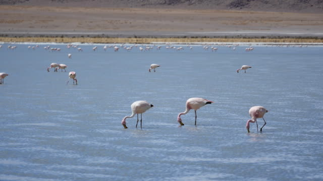 Flamingos in Atacama dessert walking