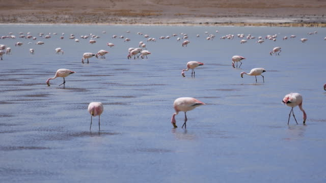 Flamingos in Bolivia Atacama