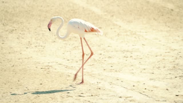 flamingos in dubai creek - flamingo bird stock videos & royalty-free footage