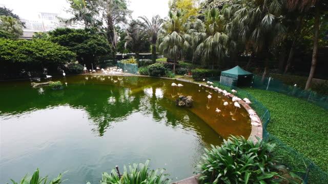 flamingos in kowloon park hong kong, wide shot - spoonfilm stock-videos und b-roll-filmmaterial