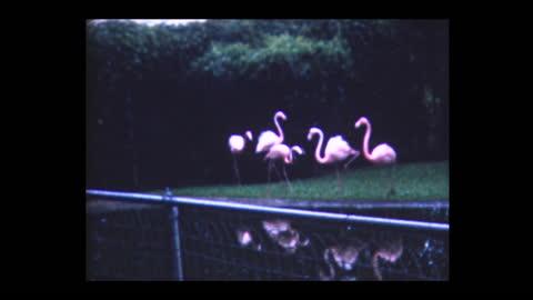 1980 flamingos in marineland florida - captive animals stock videos & royalty-free footage
