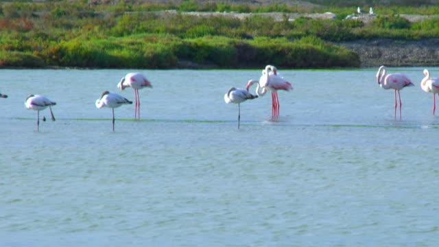 flamingos in marsh - cádiz stock videos and b-roll footage
