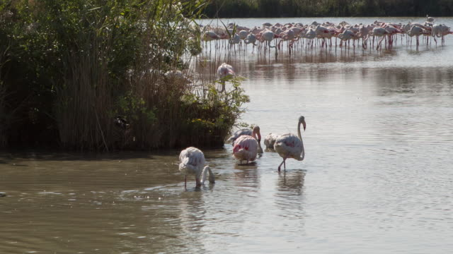 Flamingos in Parc Naturel Régional de Camargue