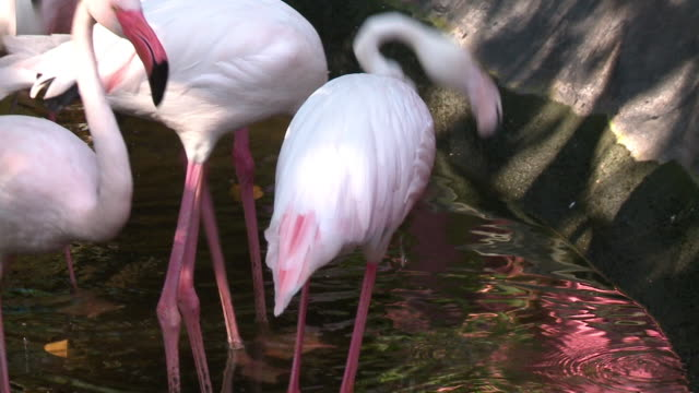 flamingos in shallow water - shallow stock videos & royalty-free footage