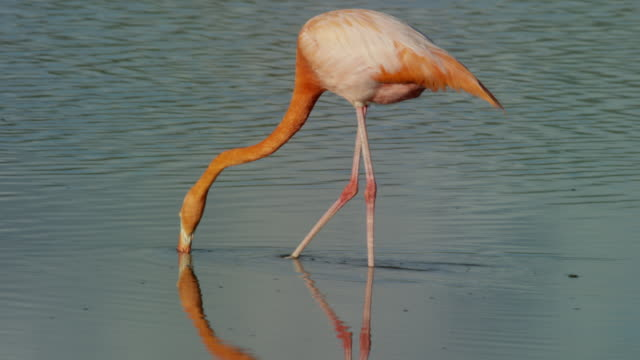 flamingos in the galapagos - flamingo bird stock videos & royalty-free footage