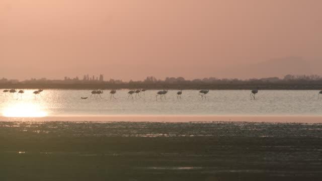 ws flamingos in the lagoon at dusk - natural parkland stock videos & royalty-free footage