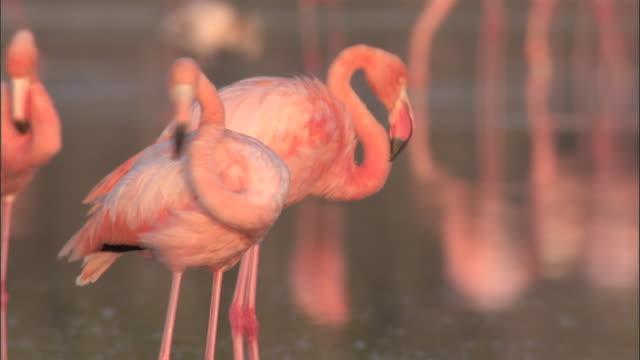 flamingos preen, isabela, galapagos islands available in hd. - galapagos islands stock videos & royalty-free footage