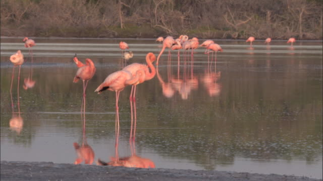 flamingos preen whilst standing in water, isabela, galapagos islands available in hd. - galapagos islands stock videos & royalty-free footage