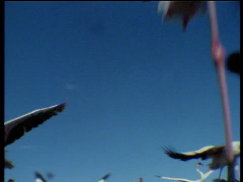 flamingos running and taking off over camera, lake bogoria, kenya - flamingo bird stock videos & royalty-free footage