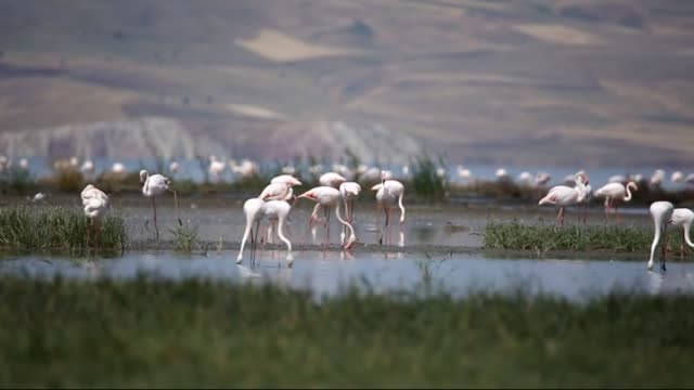 flamingos stand in the ercek lake in van eastern turkey on july 19 2015 - aquatic organism stock videos & royalty-free footage