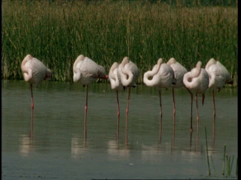 ms flamingos standing in water, sleeping, gujarat, india - balance stock videos & royalty-free footage