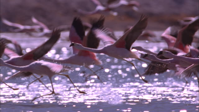 flamingos take off from soda lake available in hd. - flamingo stock-videos und b-roll-filmmaterial