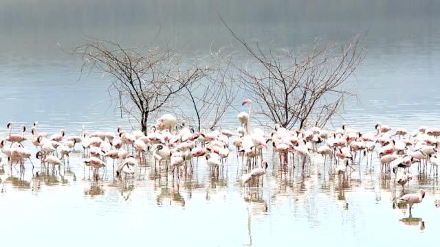 flamingos - flamingo stock-videos und b-roll-filmmaterial