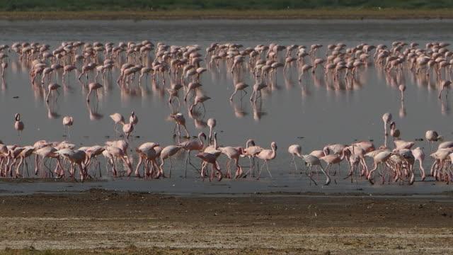 vídeos y material grabado en eventos de stock de flamencos - animales de safari