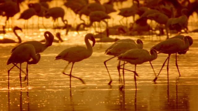 ms pan flamingos wading through shallow lake at sunset / ngorogoro crater, tanzania - タンザニア点の映像素材/bロール