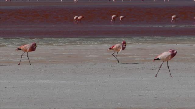 Flamingos Walking in Bolivia